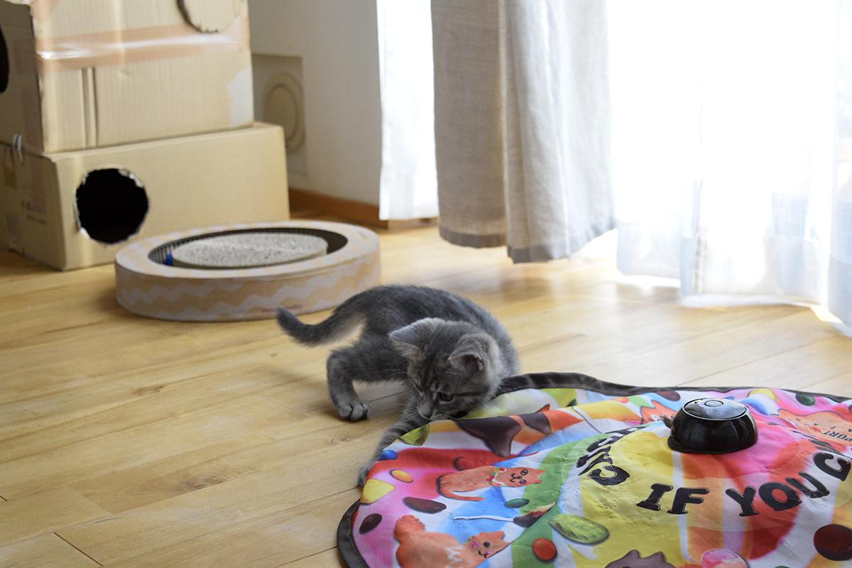 キャッチミーイフユーキャンで一人遊びするサバトラ猫の春太