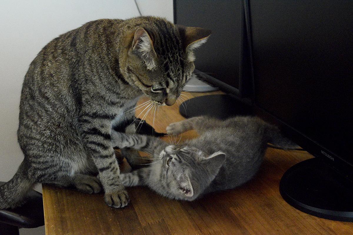 場所取りで喧嘩するキジトラ猫の虎ノ介とサバトラ猫の春太