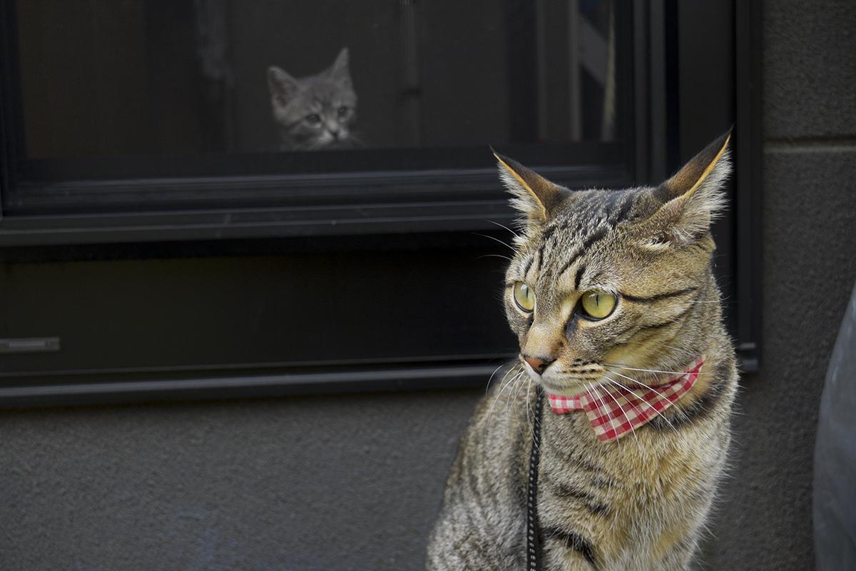 外にいるキジトラ猫の虎ノ介と網戸から覗くサバトラ猫の春太