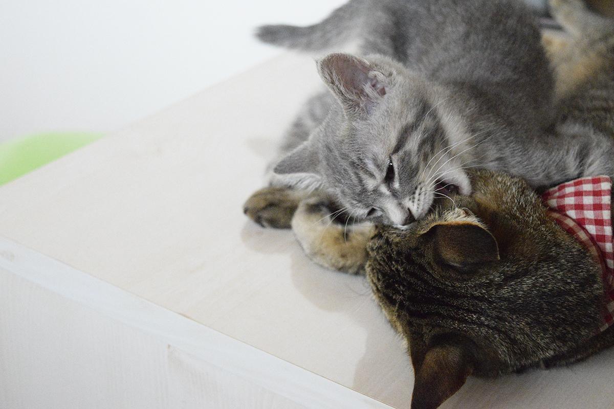 散歩からかえってきたキジトラ猫の虎ノ介に絡むサバトラ猫の春太