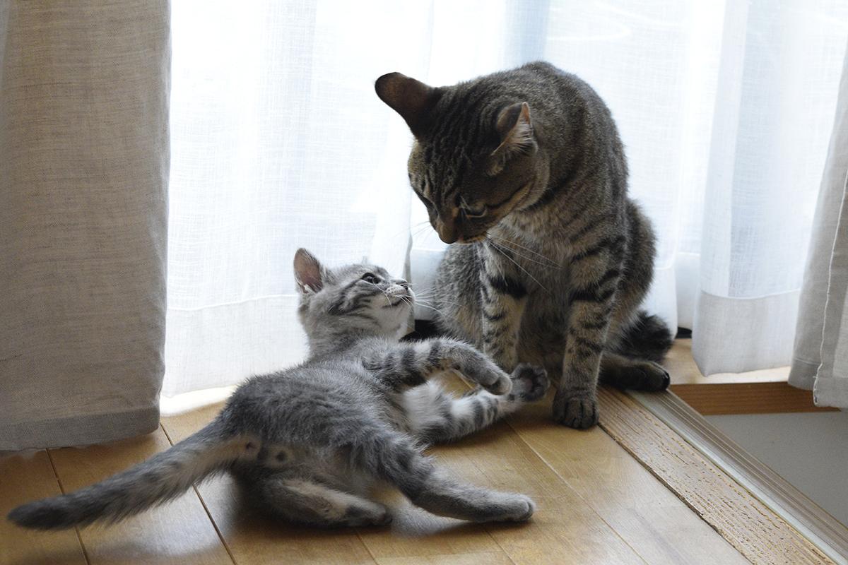 廊下で喧嘩の続きをするキジトラ猫の虎ノ介とサバトラ猫の春太