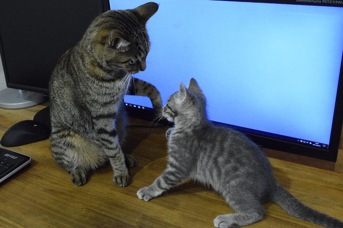 モニタの前で場所の取り合いをするキジトラ猫の虎ノ介とサバトラ猫の春太