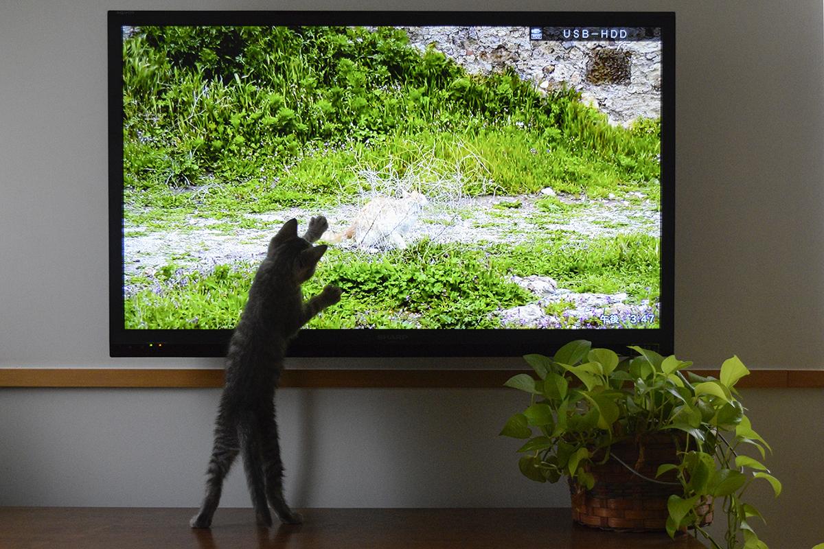 ネコ歩きに夢中の春太