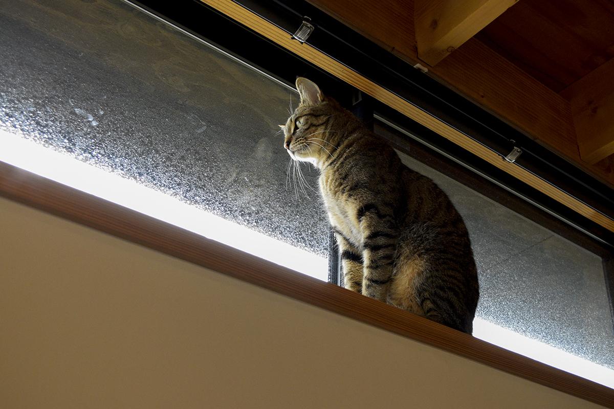 外を見回るキジトラ猫の虎ノ介