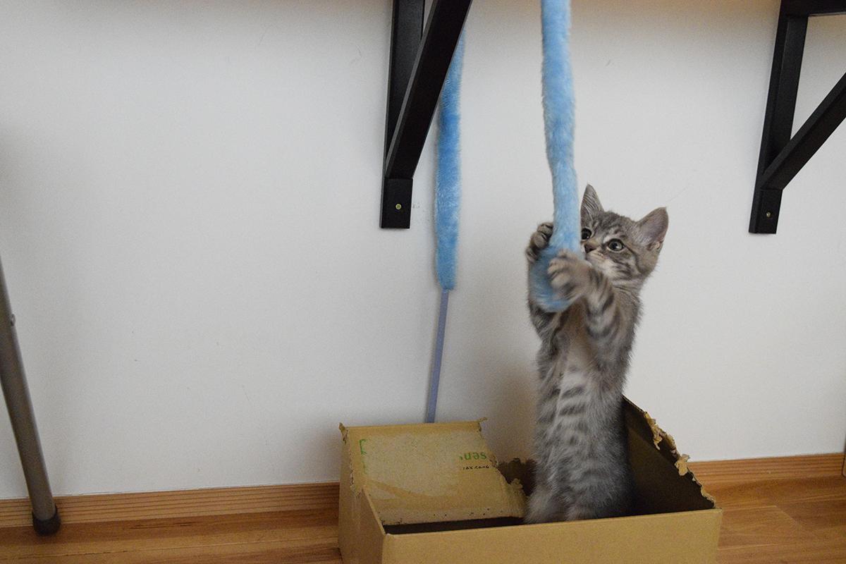 おもちゃをキャッチするサバトラ猫の春太