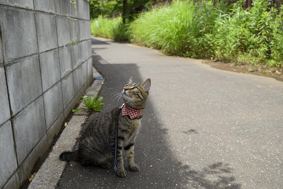 久しぶりにお散歩を楽しむキジトラ猫の虎ノ介