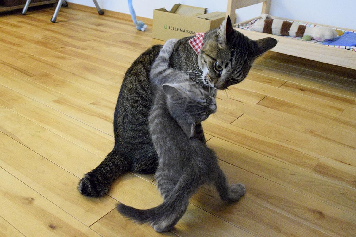 モニタ前からどかされてもまだもめているキジトラ猫の虎ノ介とサバトラ猫の春太