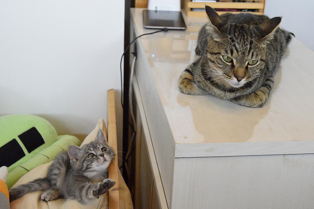 座っているキジトラ猫の虎ノ介にちょっかいをかけようとするサバトラ猫の春太