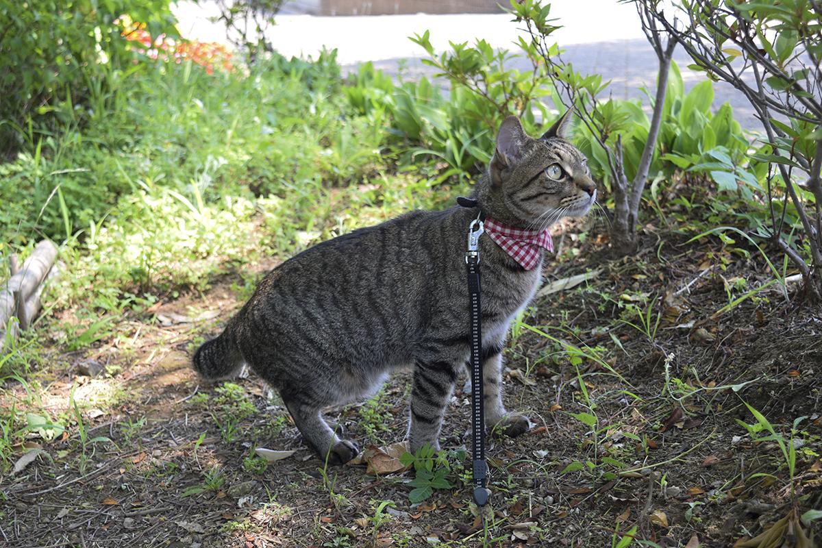 木陰で鳥を見るキジトラ猫の虎ノ介