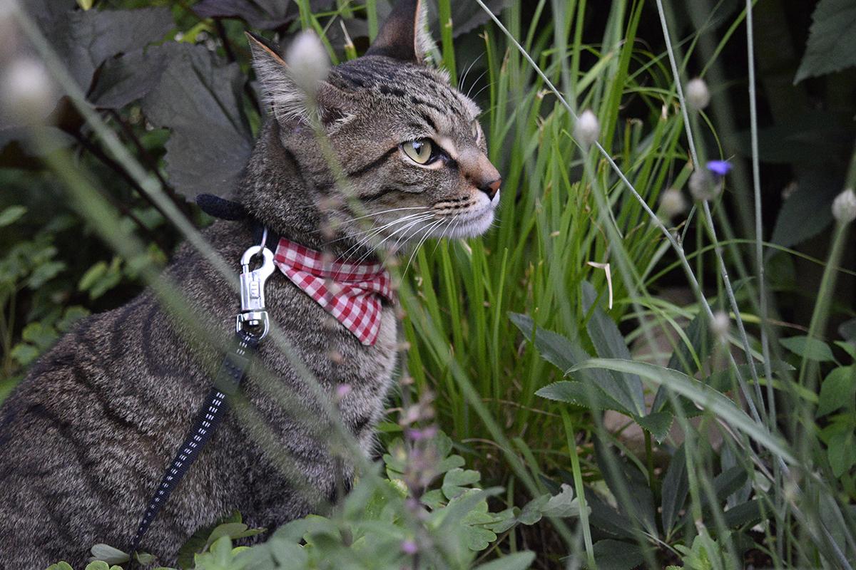 夕方に再びお散歩にいくキジトラ猫の虎ノ介