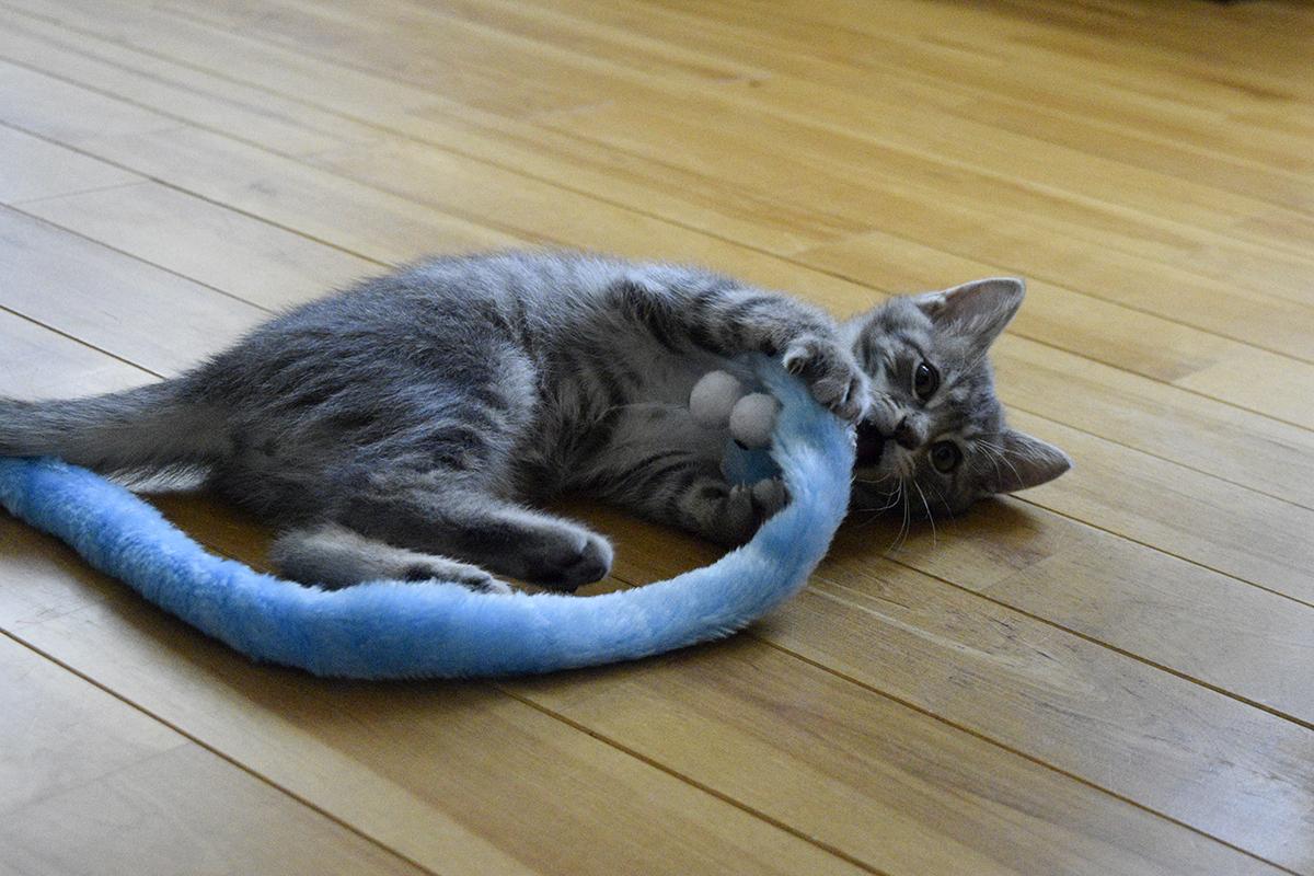 ヘビのおもちゃにじゃれるサバトラ猫の春太
