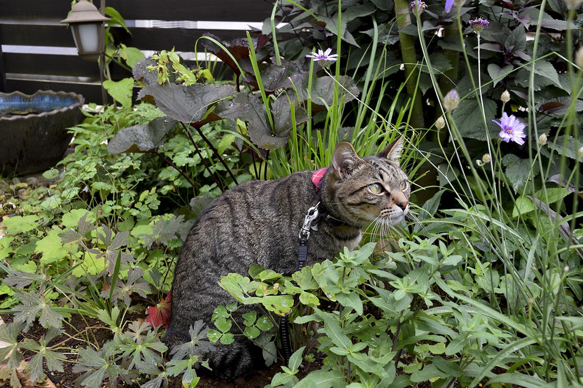 雨の合間に散歩にでるキジトラ猫の虎ノ介