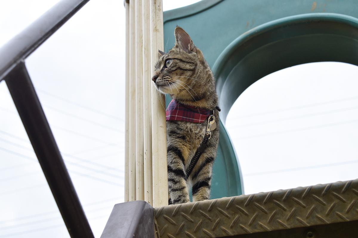 公園に移動したキジトラ猫の虎ノ介