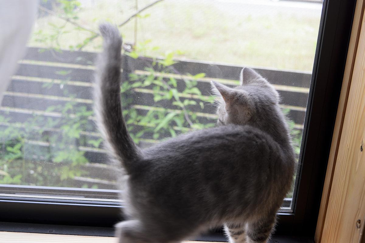 部屋からキジトラ猫の虎ノ介を見るめるサバトラ猫の春太