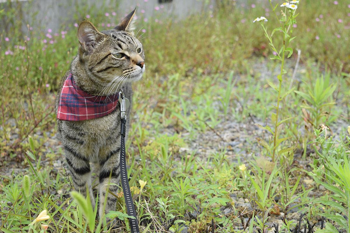 お外で空気の匂いを嗅ぐキジトラ猫の虎ノ介