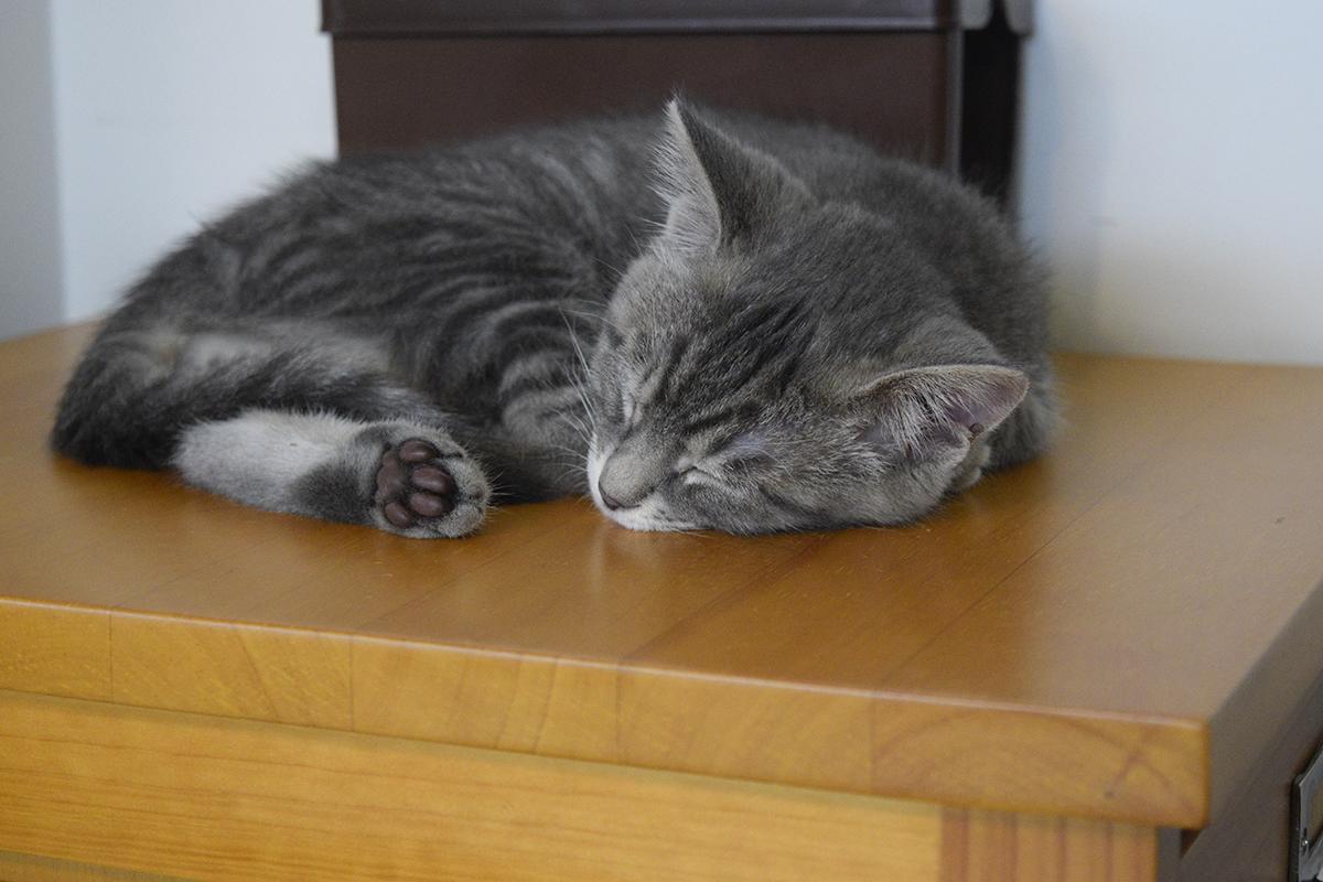 キジトラ猫の虎ノ介を待っている間に寝てしまったサバトラ猫の春太