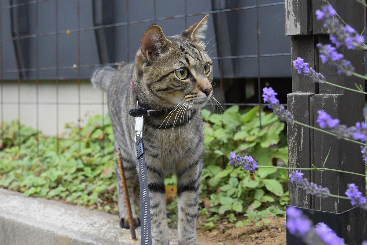 夕方に散歩にでて犬に遭遇したキジトラ猫の虎ノ介