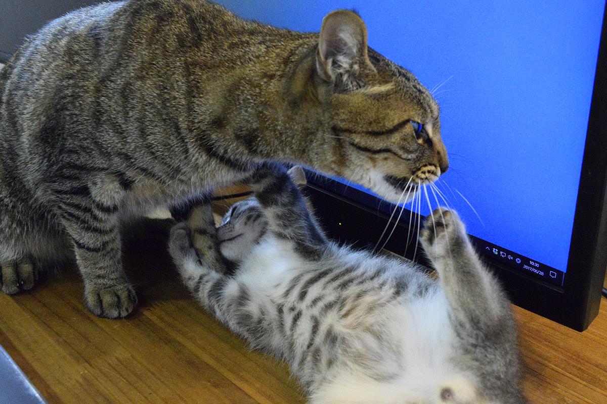 モニタ前争奪戦をするキジトラ猫の虎ノ介とサバトラ猫の春太