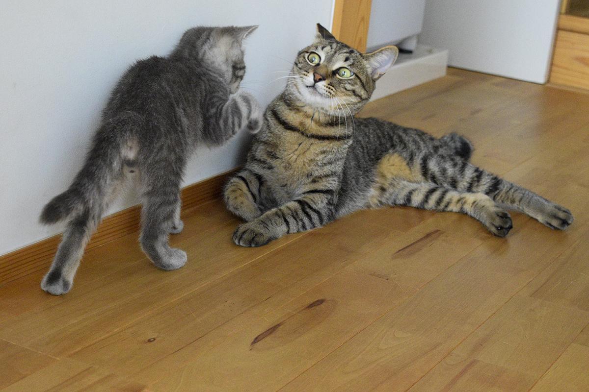 廊下にいるキジトラ猫の虎ノ介に襲い掛かるサバトラ猫の春太