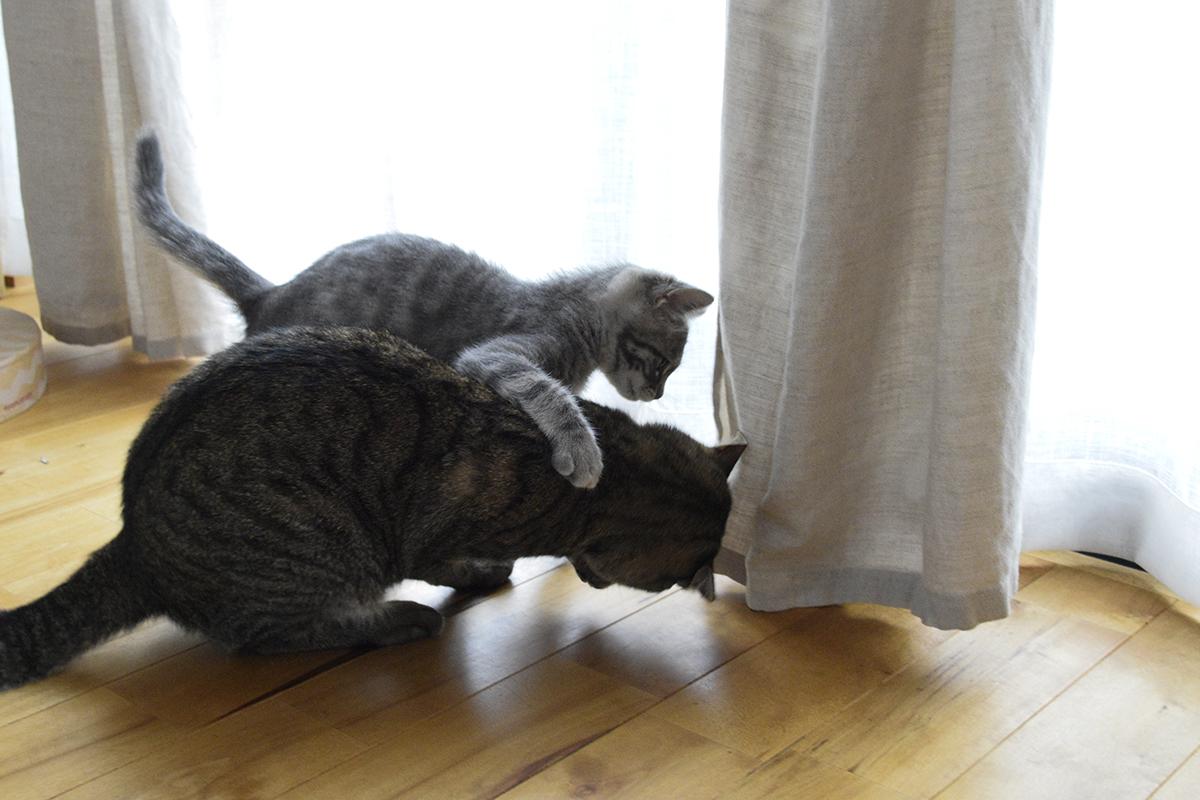 毛づくろい中のキジトラ猫の虎ノ介に襲い掛かるサバトラ猫の春太