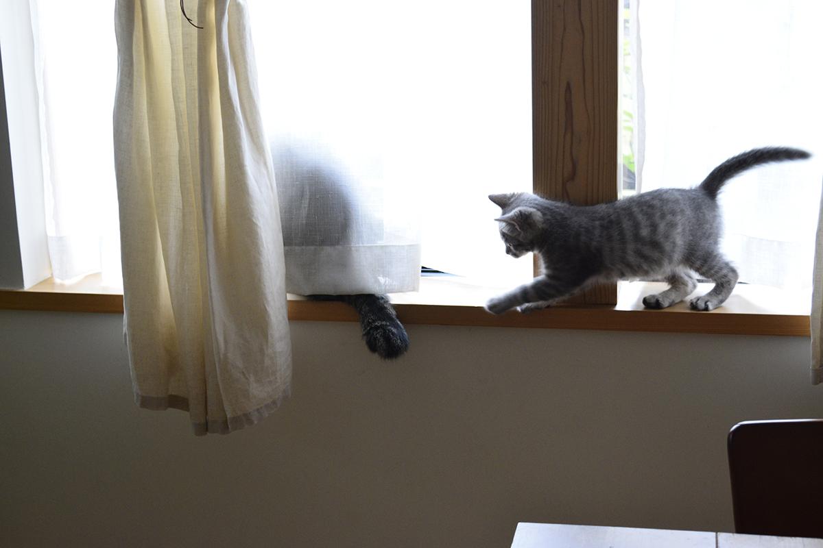 窓辺で外を見るキジトラ猫の虎ノ介に忍び寄るサバトラ猫の春太