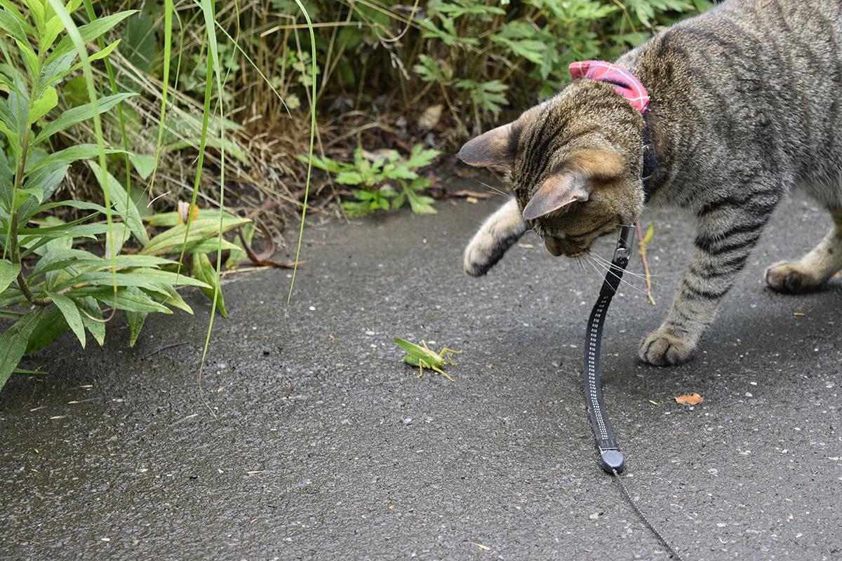 外でバッタを見つけたキジトラ猫の虎ノ介