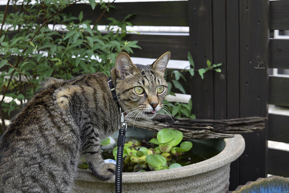 水鉢で水を飲むキジトラ猫の虎ノ介