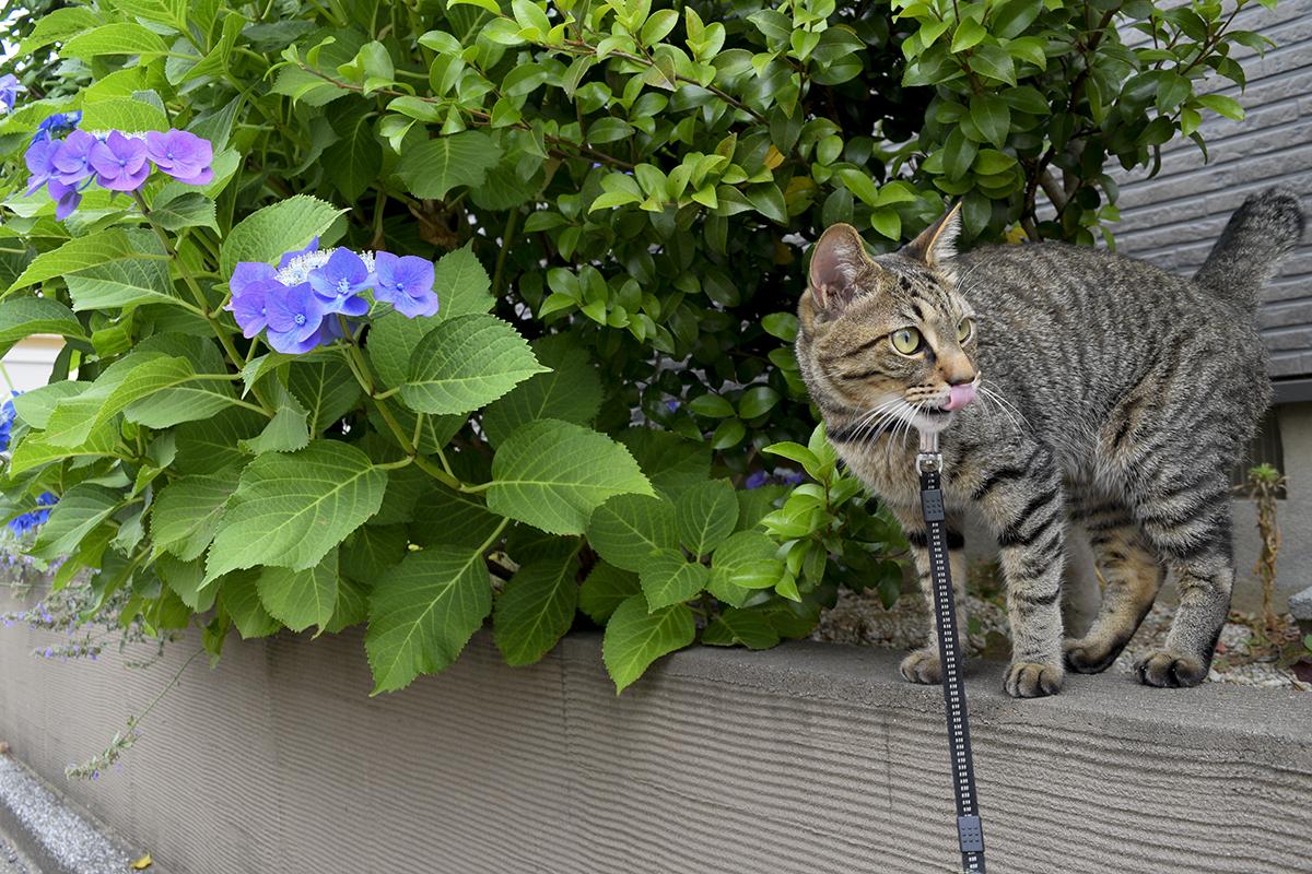 ご近所さんの敷地に入ろうとするキジトラ猫の虎ノ介