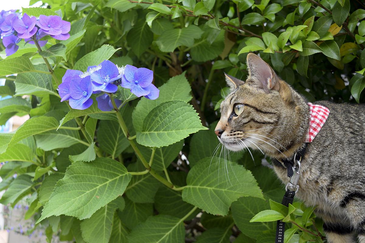 紫陽花と写真に映るキジトラ猫の虎ノ介