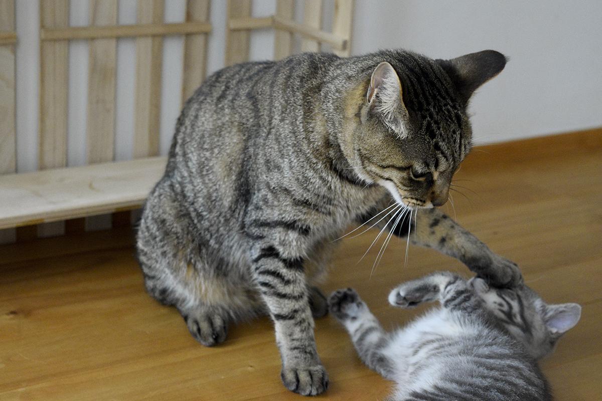 サバトラ猫の春太に絡まれるキジトラ猫の虎ノ介
