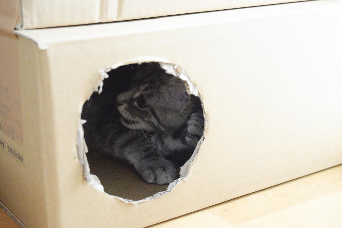 段ボールハウスで遊ぶサバトラ猫の春太