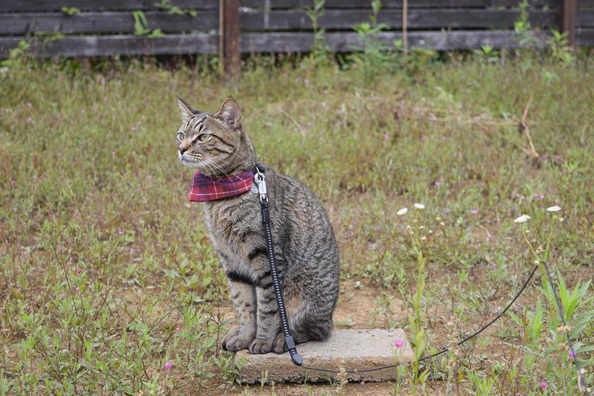 散歩にでかけたキジトラ猫の虎ノ介