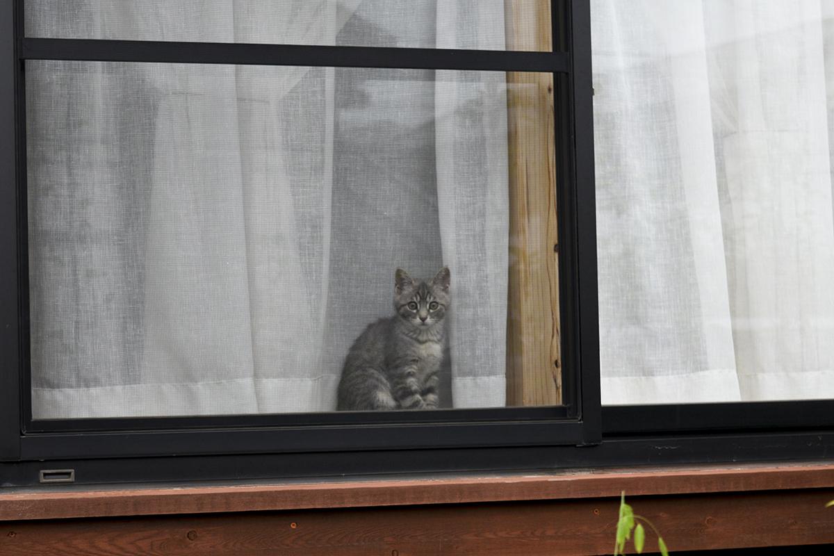 窓からキジトラ猫の虎ノ介を見つめるサバトラ猫の春太