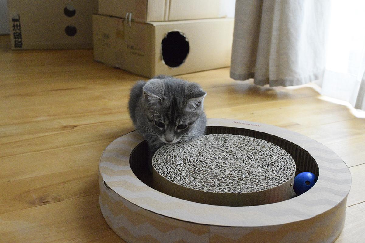 ニャンコロビーで遊ぶサバトラ猫の春太