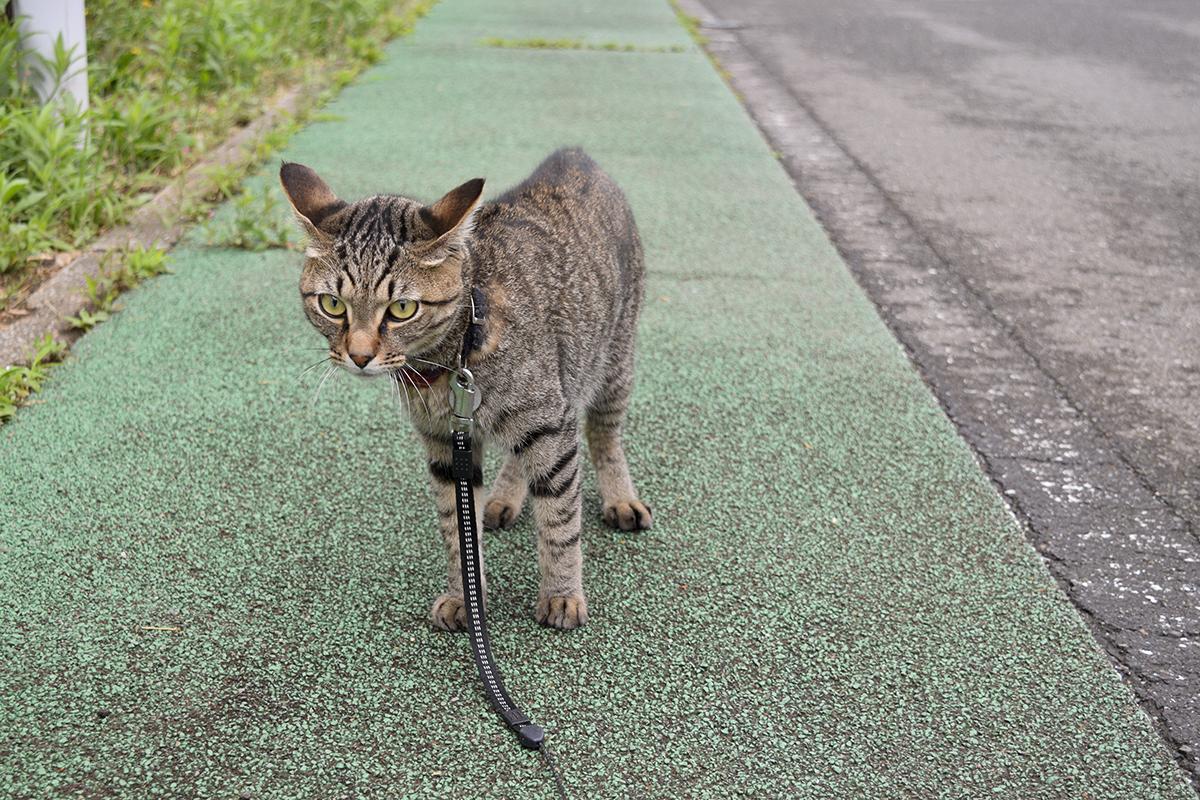 犬に吠えられておびえるキジトラ猫の虎ノ介