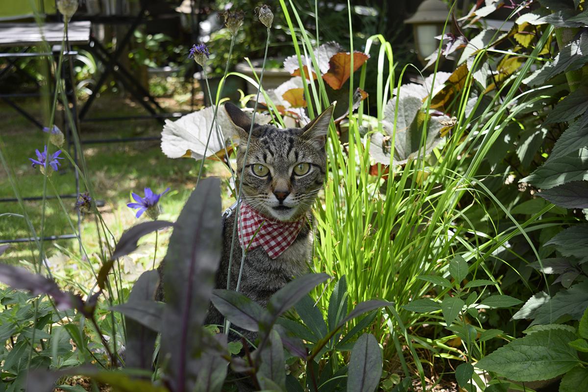 暑い中外にでたキジトラ猫の虎ノ介