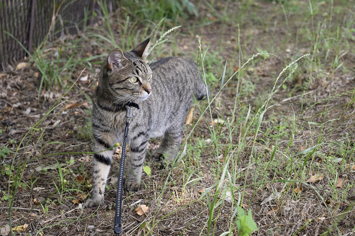 木陰に入るキジトラ猫の虎ノ介