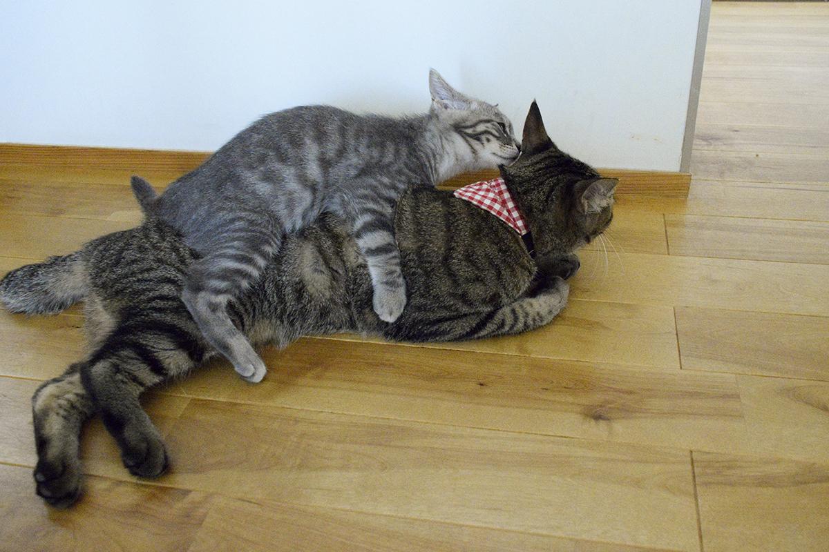部屋にもどってサバトラ猫の春太に絡まれるキジトラ猫の虎ノ介
