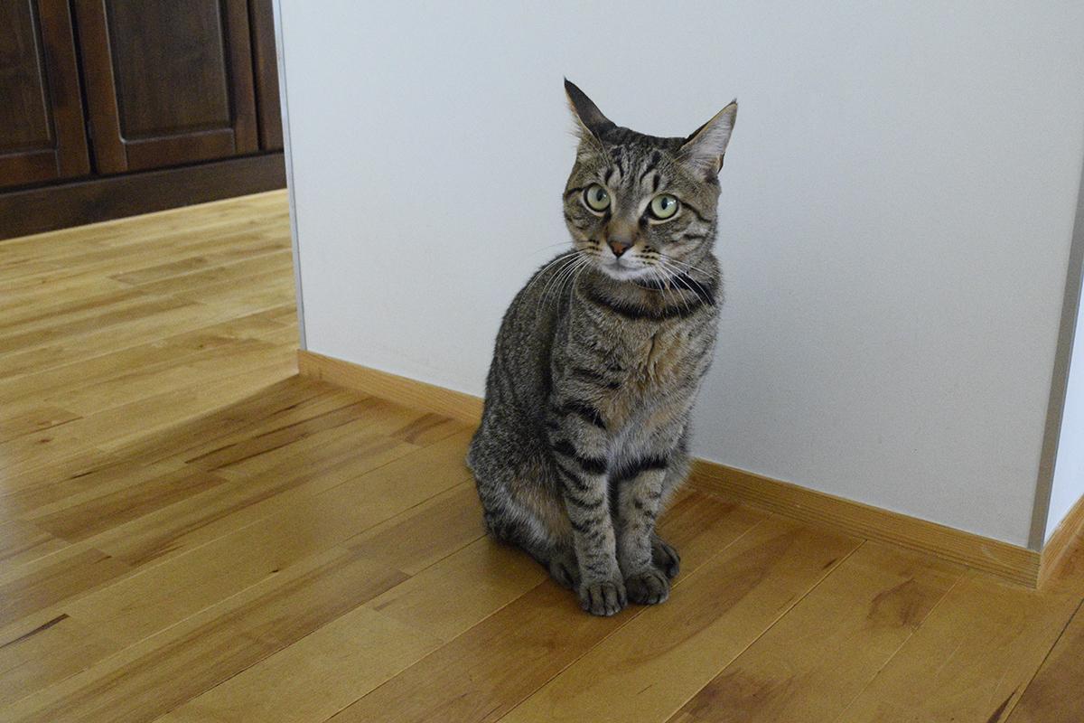 人間にサバトラ猫の春太をなんとかしてほしいと訴えるキジトラ猫の虎ノ介