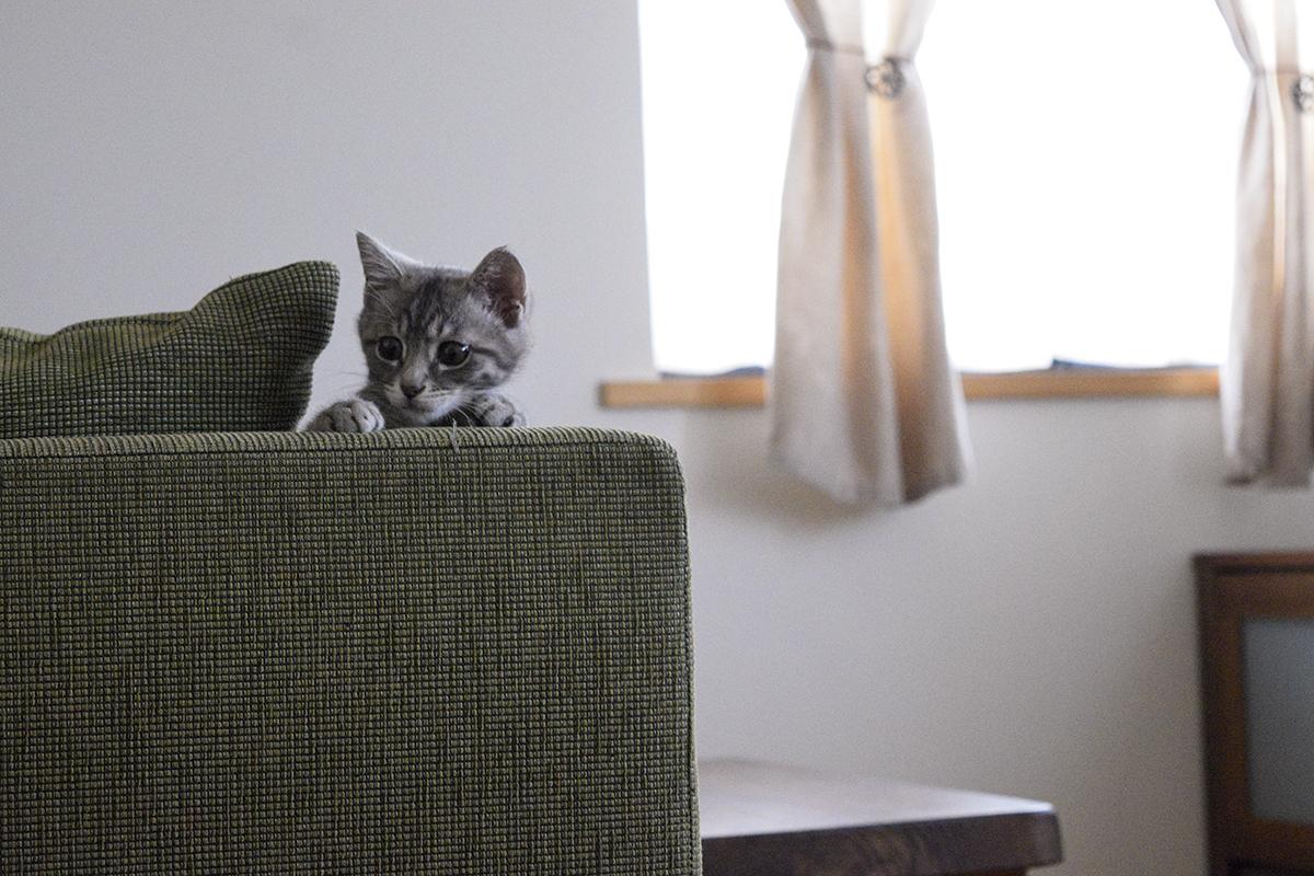 ソファーからキジトラ猫の虎ノ介を覗くサバトラ猫の春太