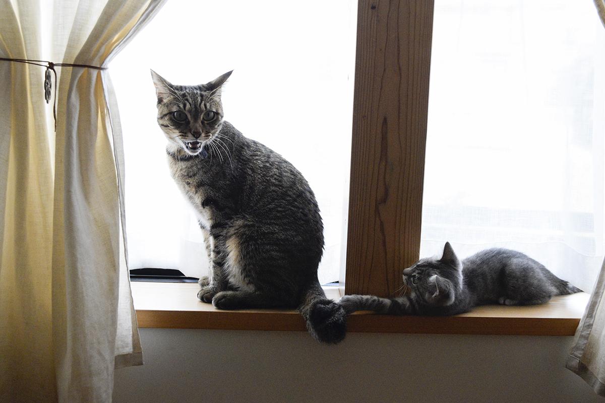 キジトラ猫の虎ノ介のしっぽを触って怒られるサバトラ猫の春太
