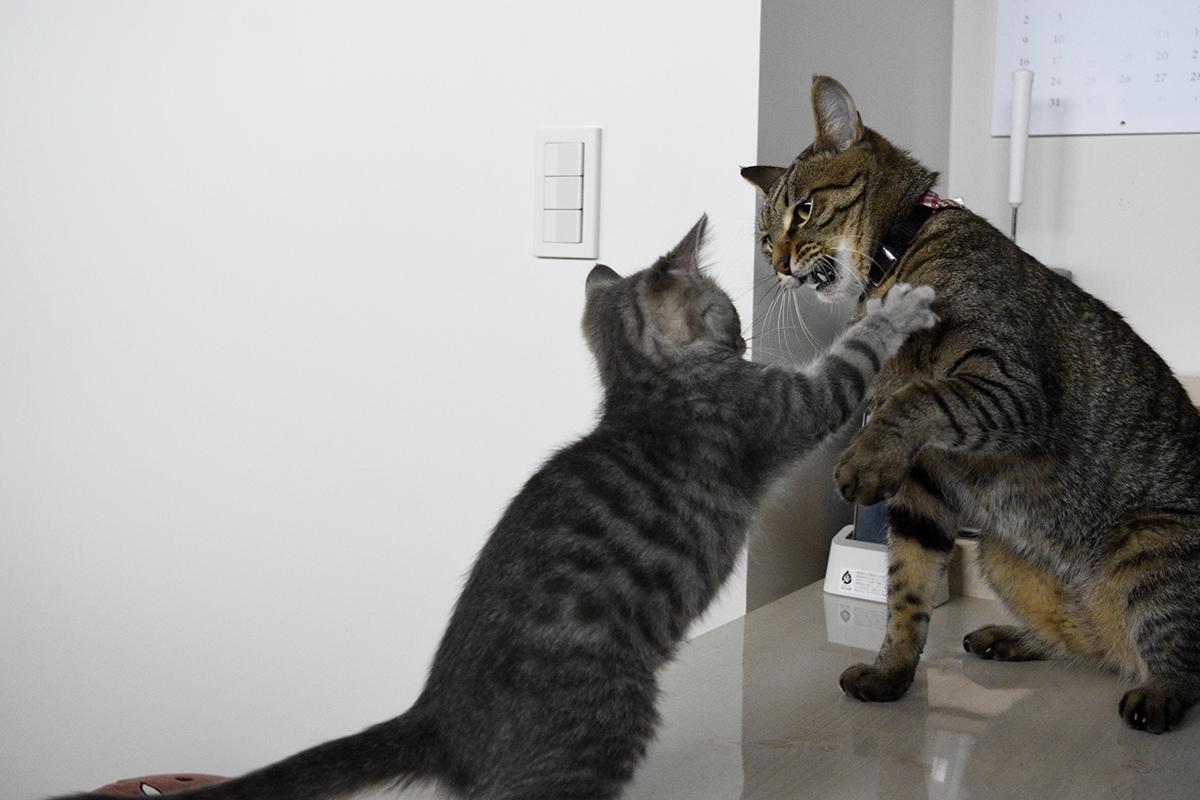 朝からサバトラ猫の春太に絡まれるキジトラ猫の虎ノ介
