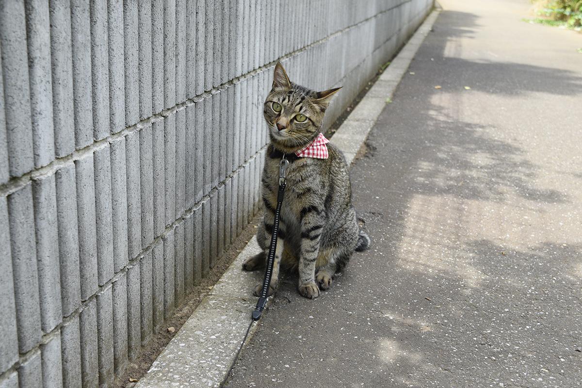 散歩にでたけれど暑そうなキジトラ猫の虎ノ介