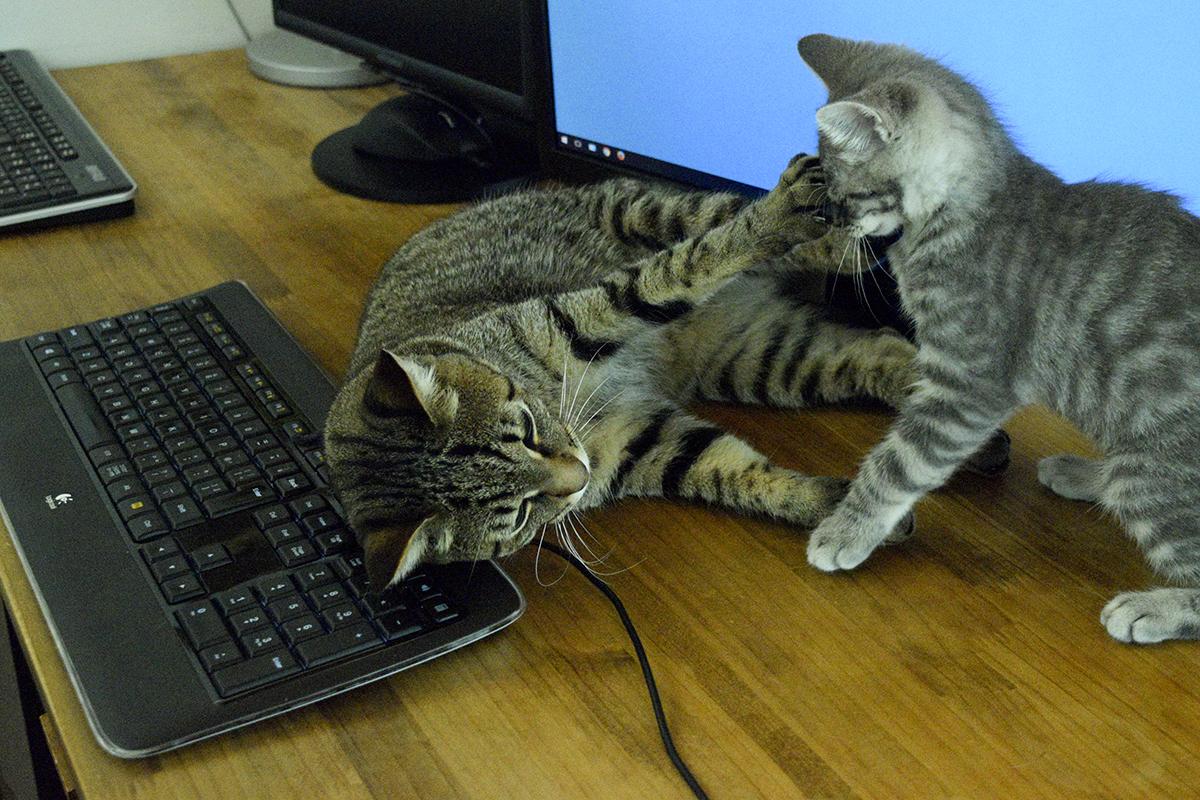 モニタの前でくつろいでいたらサバトラ猫の春太に襲われるキジトラ猫の虎ノ介