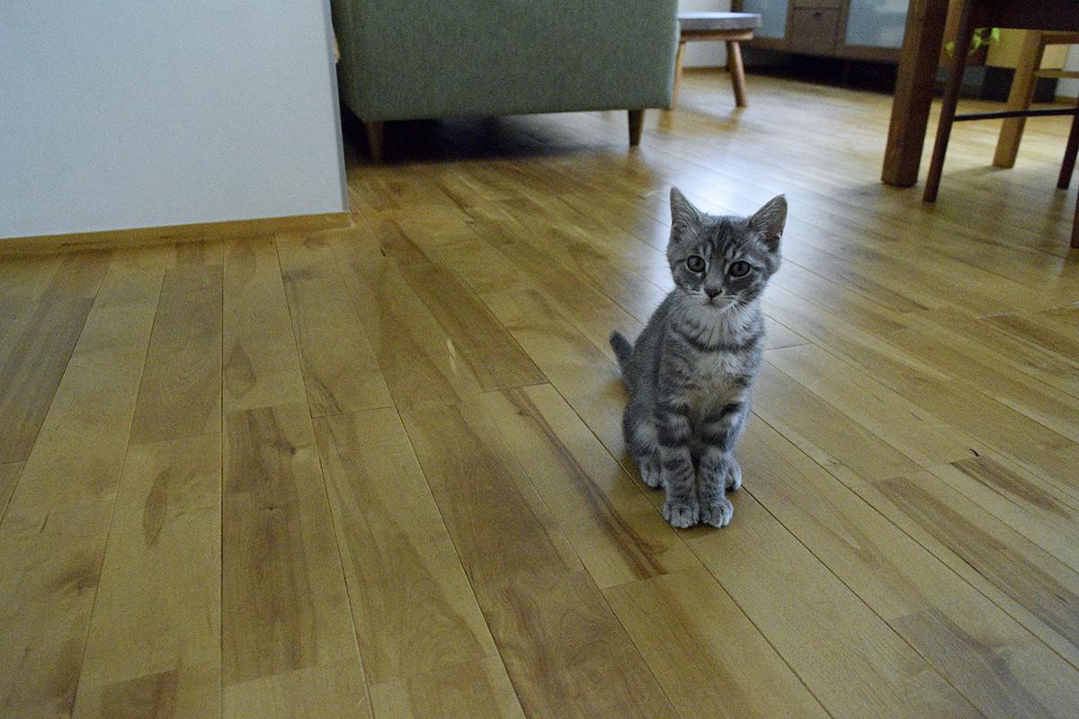 植木鉢をひっくり返えした犯人のサバトラ猫の春太