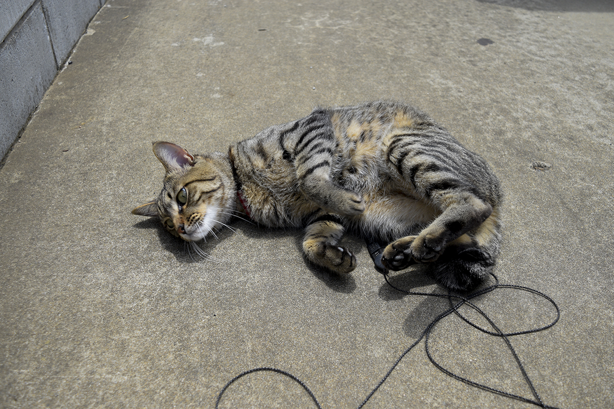 駐車場でゴロンゴロンするキジトラ猫の虎ノ介