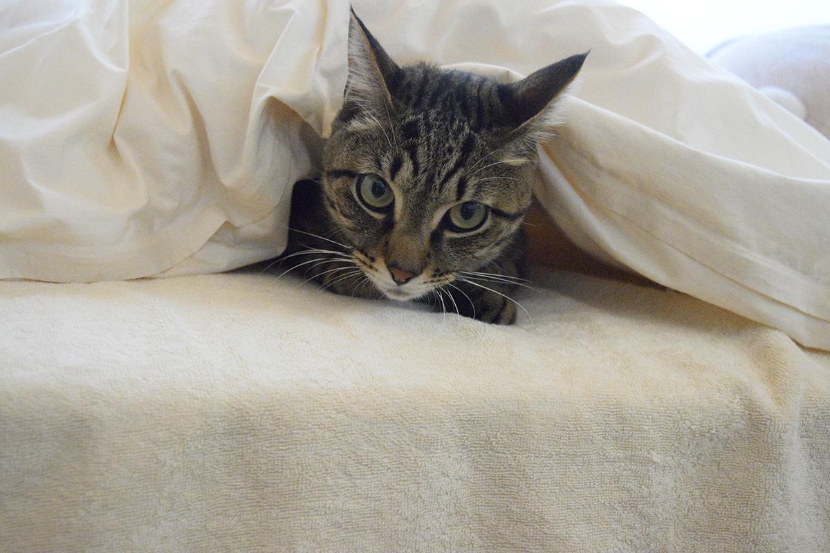 布団にもぐりこむキジトラ猫の虎ノ介