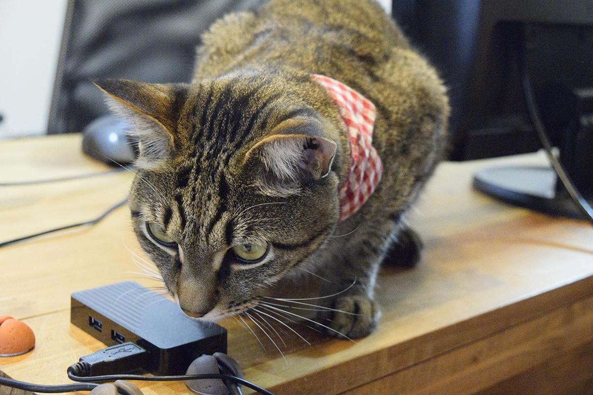 机の上から寝ているサバトラ猫の春太を見つめるキジトラ猫の虎ノ介