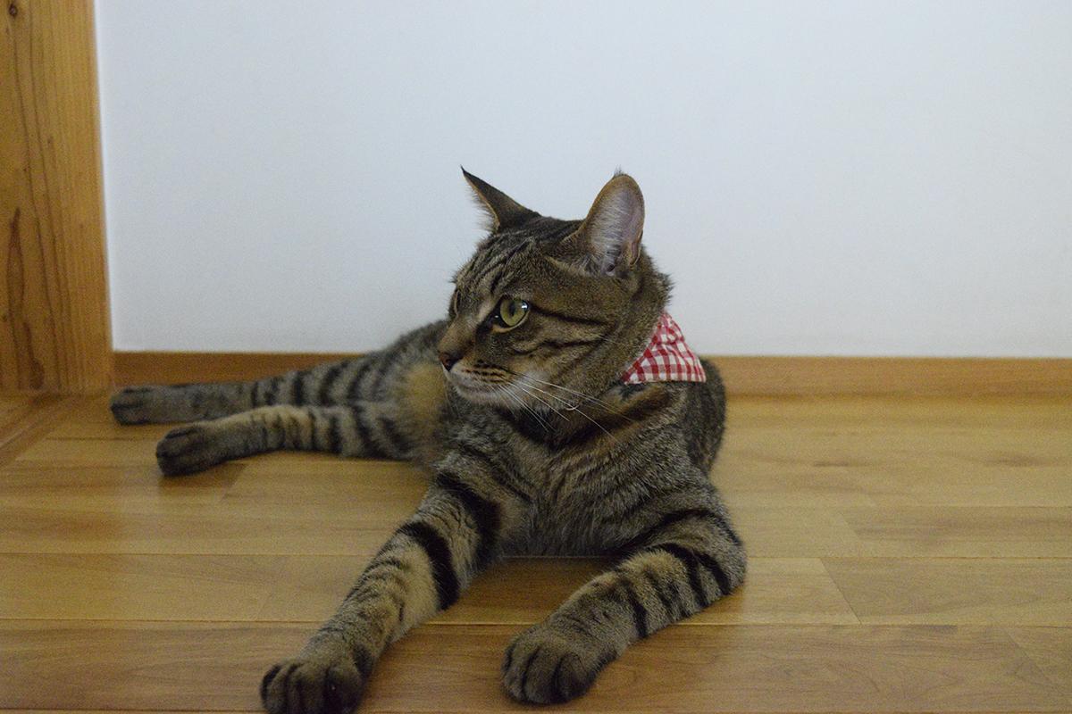 サバトラ猫の春太の視線に気が付かないふりをするキジトラ猫の虎ノ介