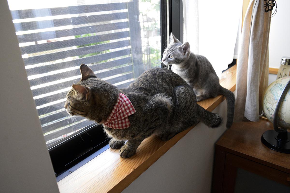 窓辺で並んで座るキジトラ猫の虎ノ介とサバトラ猫の春太